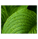 peru-balsam essential oil